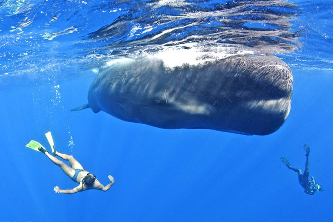 two snorkelers either-side of a Humpback Whale in the Dominican sea