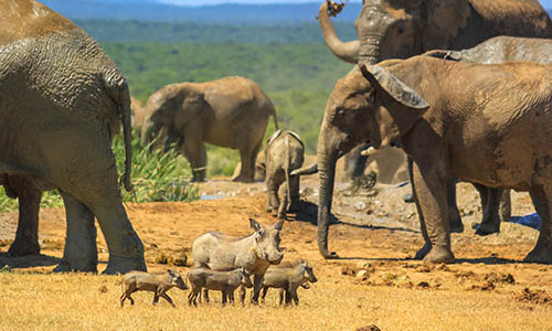 Family of Warthogs surrounded by African Elephants