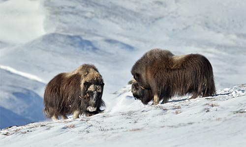 Musk Oxes On Snowcapped Mountain, Greenland