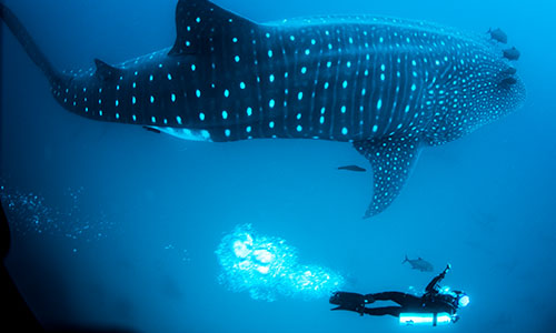 Whale Shark with SCUBA Divers at Darwin Island in the Galapagos Islands, Ecuador