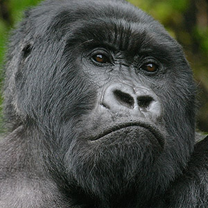 Adult Mountain Gorilla